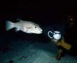 During the excavation of the British East India Company ship Griffin, a curious tetraodon swims up to a tea pot.